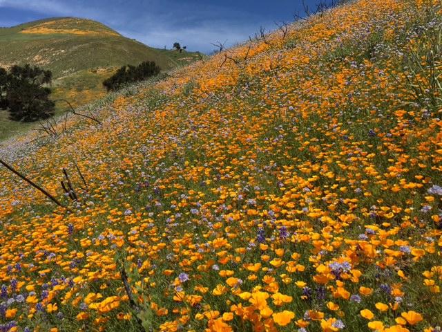 santa barbara wildflower 2016 los padres santa ynez Figueroa