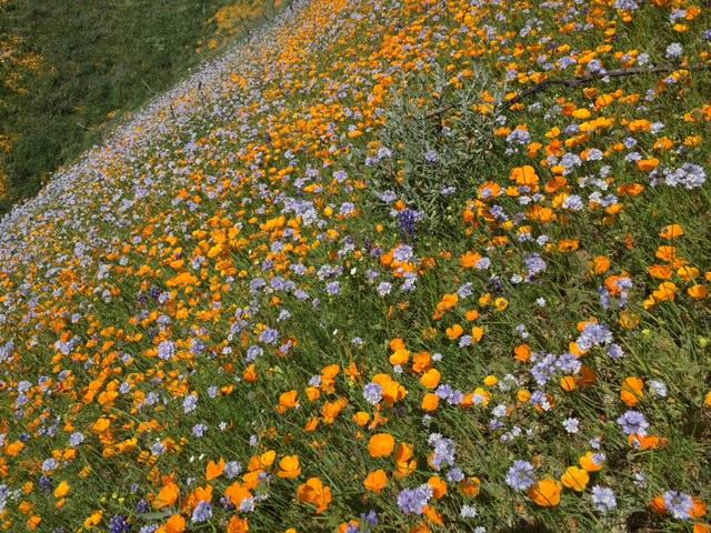 santa barbara wildflowers los padres hikes
