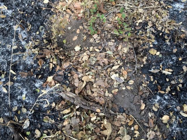 bear prints tracks santa barbara los padres santa ynez mountains hikes