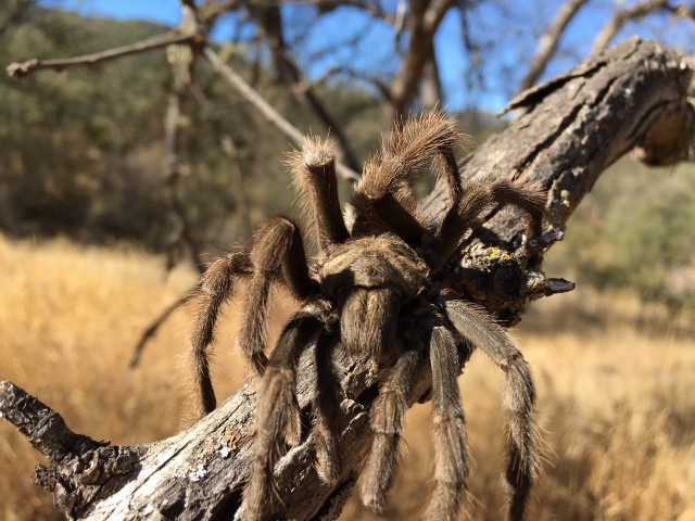 tarantula-santa-barbara-mating-migration