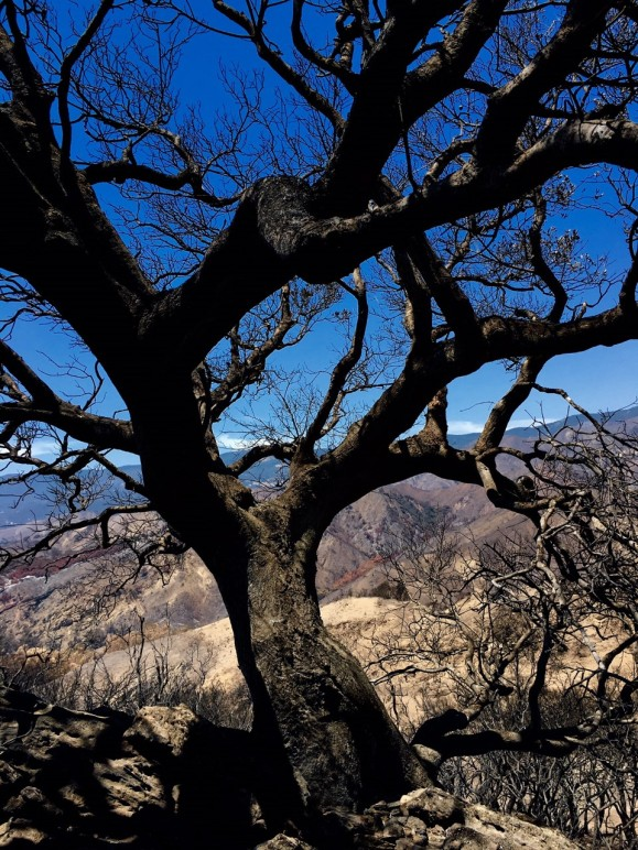 scorched-oak-tree-wildfire