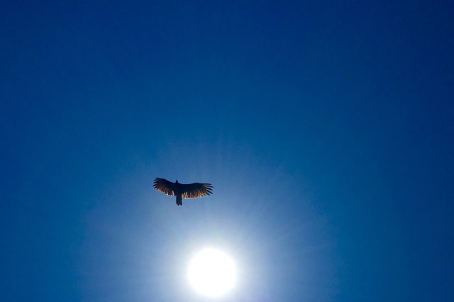 turkey-vulture-gaviota
