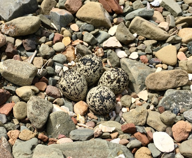 killdeer eggs nest rock santa ynez river Santa Barbara